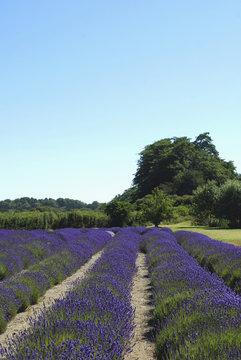Blooming Field of Lavender