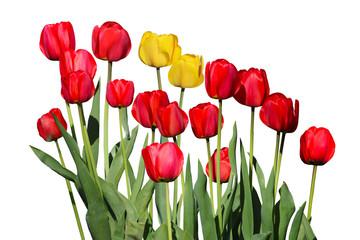 Red Yellow Tulip Flowers