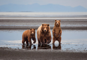 Mother Brown Bear and two yearling cubs standing on Hallo Bay on Katmai Peninsula, Alaska