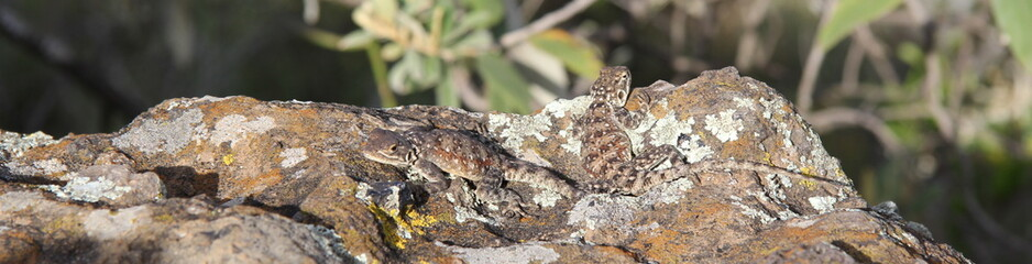 Lizards resting in the sun on a rock