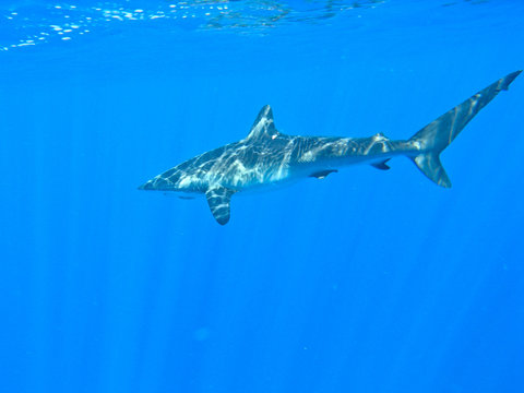 Silky Shark at the surface after bait ball