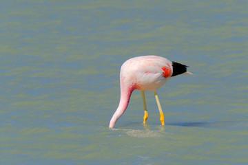 Andean Flamingos, phoenicoparrus andinus, feeding at Laguna Brava near Paso Pircas Negras, Argentina, South America
