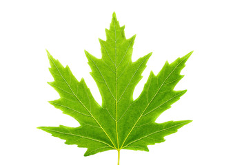 isolated maple leaf