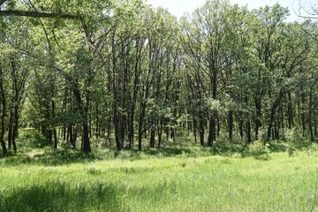 Steppe trees foliage