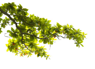 Green leaves with branch isolated on white background Wall mural