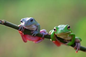 tree frogs, dumpy frogs, white lip frogs