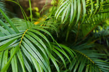 Exotic palm leaves background photo. Concept of botany and foliage.