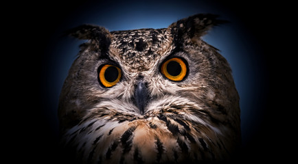 Wall Mural - A close look of the orange eyes of a horned owl on a dark background.