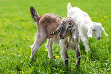 Couple of baby goat kids on the spring grass playing together.