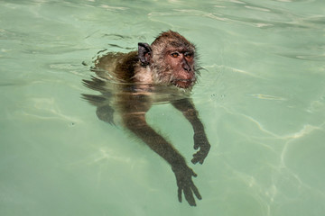 Crab-eating macaque monkey (Macaca fascicularis) swimming in sea water. Koh Phi Phi, Thailand.