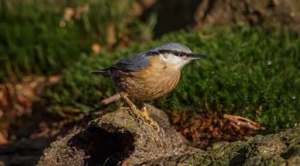 Nuthatch bird in forest