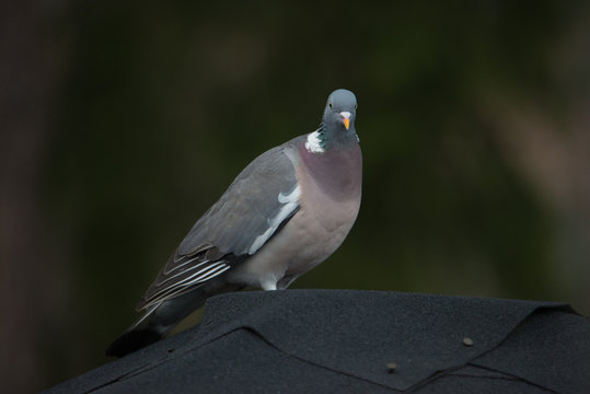Columba palumbus (on the roof)