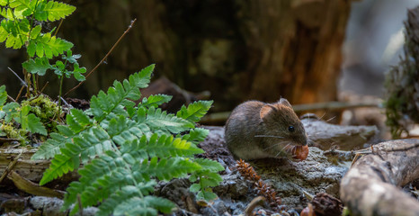 Vole in forest