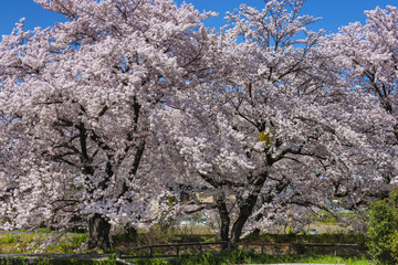 Japanese pink cherry tree blossom