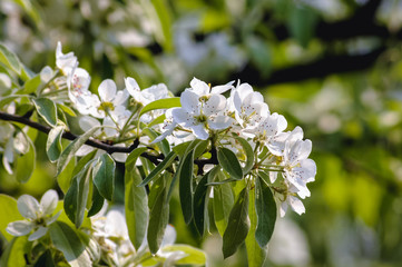 Close up on white flowers of pear tree