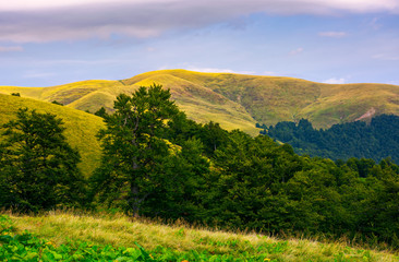 hills of Svydovets ridge behind the beech forest. lovely scenery of Carpathian mountains, Ukraine