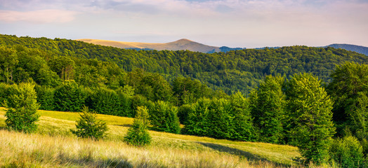 panorama of Forested Carpathian mountains. beech forest on the grassy meadow and mountain peak in the distance. wonderful atmosphere of summer evening