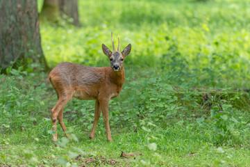 Chevreuil boisé de profil, brocard, roe deer
