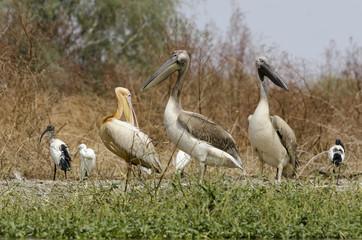 Pélican blanc,.Pelecanus onocrotalus, Great White Pelican, Sénégal