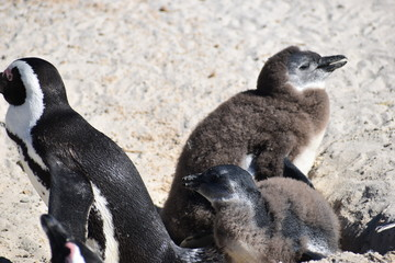 Closeup of three cute Jackass Penguins on the Boulders Beach in Cape Town in South Africa