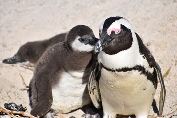 Closeup of two cute Jackass Penguins on the Boulders Beach in Cape Town in South Africa