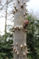 The very spiky stem of the Kalopanax pictus, also known as Castor Aralia.