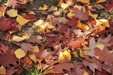 Autumn leaves lie on the ground in the forest. Park landscape of the colourful red and yellow leaf. Golden closeup nature