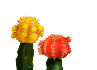 Yellow and red cactus isolated in white background