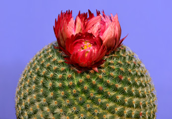 Close-up of a round cactus with red flower isolated in purple background.