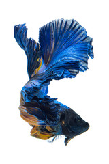 Blue yellow siamese fighting fish, betta fish isolated on gray background