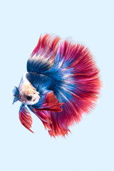 Blue red siamese fighting fish, betta fish isolated on grey background