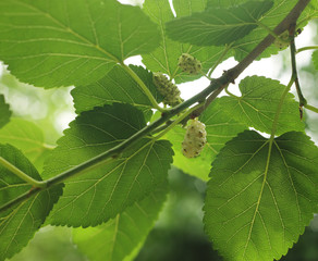 Branch with ripe and unripe fruits of white mulberry