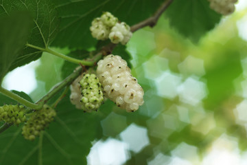 White mulberries, shallow depth of field