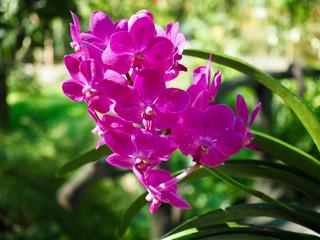 Pink Vanda Orchid