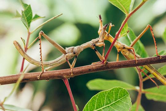 Tropical stick insect in Brazilian garden