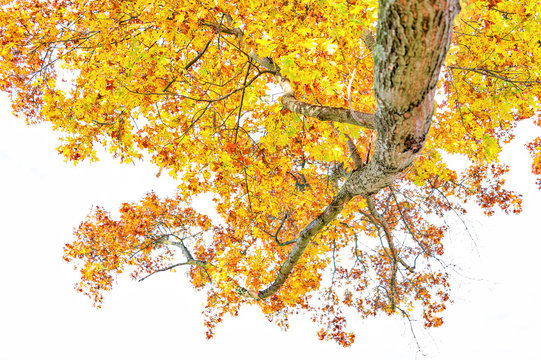 Up view of one large tree with autumn yellow orange foliage leaves isolated against white sky branches in Manassas National Park in Virginia, VA, trunk