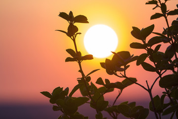 Beautiful contrast picture of clear silhouettes of tree branches with dark green leaves against big bright white sun on dramatic orange golden yellow sky background. Fantastic sunset or sunrise.