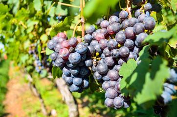 Closeup of dark red wine grapes in sunlight at vineyard