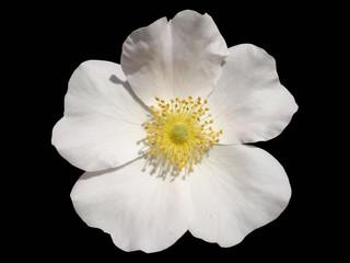 One 'Rosa canina' rose white flower isolated on black