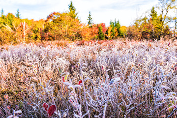 Frost iced trail of red blueberry bushes illuminated by morning sunlight at Dolly Sods, West Virginia with forest