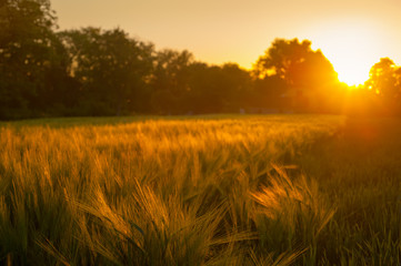 Fototapete - Wheat field over sunset sky