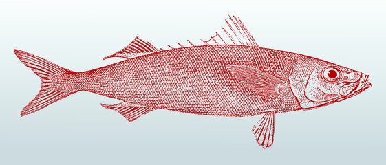 Redbait or cape bonnetmouth (emmelichthys nitidus), a fish from australia in profile view. Illustration after a historic lithography from the 19th century. Easy editable in layers