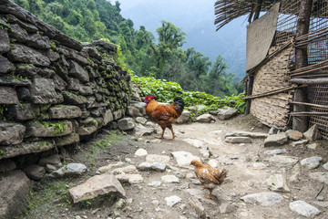 Hühner im Himalaya