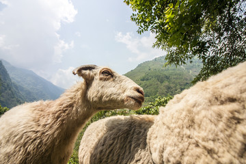 Landschaft Nepal Ziege