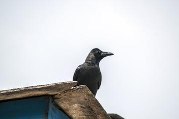 Schwarzer Vogel Nepal