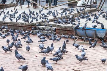 Viele Tauben - Hinduismus Pashupatinath