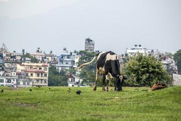 Kuh auf der Wiese in Kathmandu