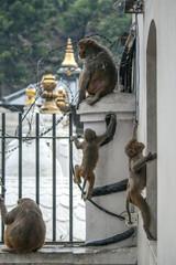 Affe mit Kinder - Hinduismus Pashupatinath