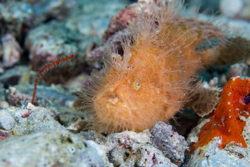 Hairy frogfish in Malapascua sea,Philippines