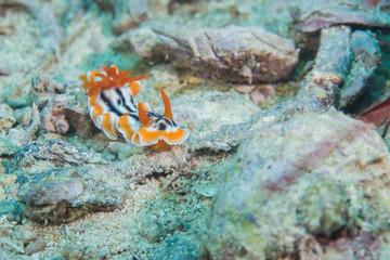 Magnificent chromodoris nudibranch ,nudibranch ,one kind of sea slug among the plankton stream